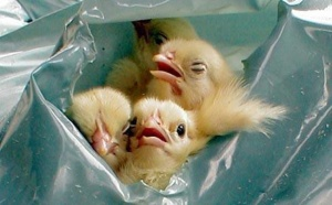ae_male-chicks-garbage-bags
